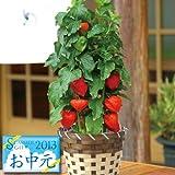 ほおずき鉢植え 5号鉢