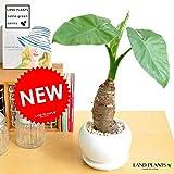 LAND PLANTS クワズイモ 白色 大丸 陶器鉢 アロカシア