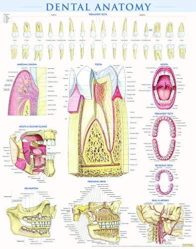 Download Dental Anatomy (Quick Study) 1423224256