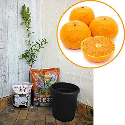 ホームフルーツの鉢栽培セット:せとか*[1本で実がなるミカン...