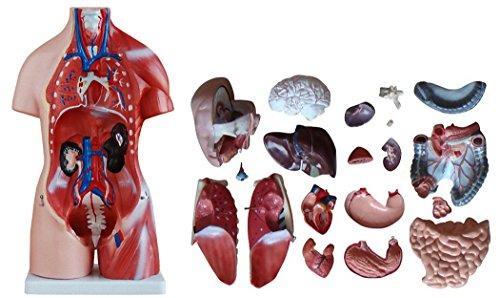 人体模型 45cm ユニセックスタイプ 内臓 臓器 23パーツ 取り外し可