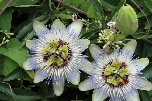 トケイソウ 苗 特徴的な花が咲くつる性植物☆