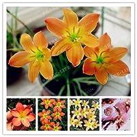 2個の球根オレンジゼフィランサスカンジダ球根盆栽花の球根屋外植物の自然な成長盆栽