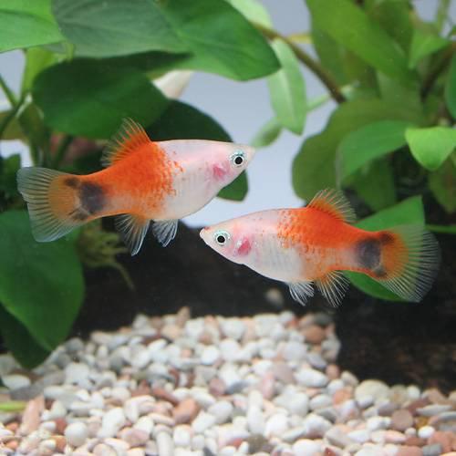 (熱帯魚)レッドトップホワイト・ミッキーマウスプラティ(1ペア) 本州・四国限定[生体]