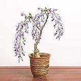 盆栽:一才藤(小・萬古焼深鉢)*(春に開花)