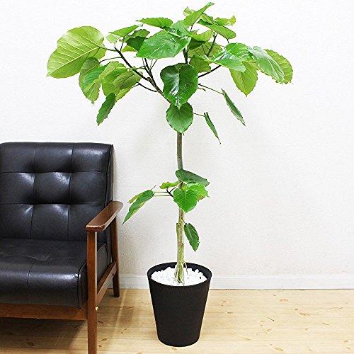 フィカス ウンベラータ ゴムの木 8号 ブラックセラアート鉢 観葉植物 中型 大型 インテリア