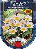 【BULB PLANT】Tulip species bakeri Lilac Wonder 原種チューリップ・バケリ・ライラック・ワンダー・ポット苗