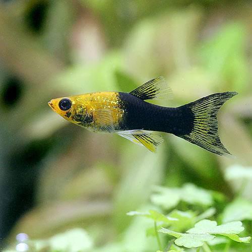 (熱帯魚) ゴールデンブラック・ライヤーテールモーリー(4匹) 本州・四国限定[生体]