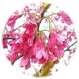 桜 苗木 寒緋桜 12cmポット苗 かんひざくら さくら 苗 サクラ