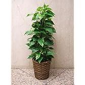 エコな観葉植物【ポトス10号】140センチ ・鉢カバー無料 立て札無料