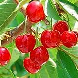 サクランボ 苗木 紅きらり 13.5cmポット苗(PVP) さくらんぼ苗