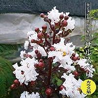 【ハナヒロバリュー】 サルスベリ カラス葉 3.5号ポット苗