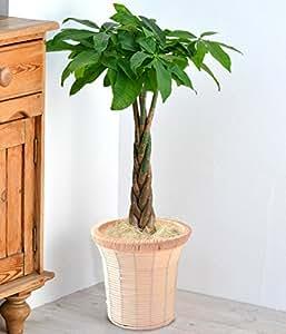 パキラ 7号鉢 インテリアバスケット 観葉植物 インテリアグリーン