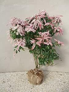 紅花アセビ H700~900