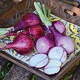 キャメロットエシャロット種子の1/2グラム種子
