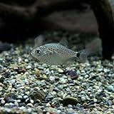 (熱帯魚)ピラニアナッテリー(約1.5-4cm)<5匹>