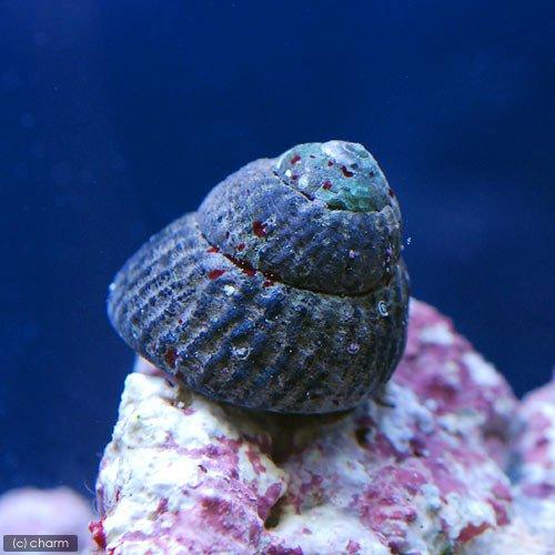 (海水魚 貝 無脊椎)コイソ貝 コケの掃除(3匹) 本州・四国限定[生体]
