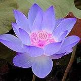 (グレート テイスト) Great taste 20粒入り 種 花 青いロータス 種子 観葉植物 栽培 高い発芽率 園芸 室内 屋外 美しい 蓮華