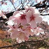 桜[サクラ・カンヒザクラ系]:大寒桜(オオカンザクラ)・安行寒桜4?5号ポット ノーブランド品