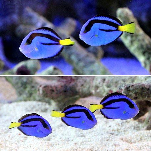 (海水魚)セブ産 ナンヨウハギ Sサイズ(2匹) 本州・四国限定[生体]
