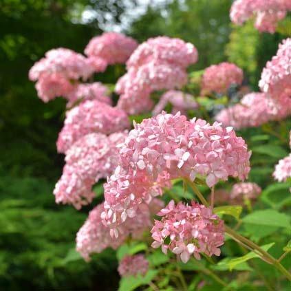 アジサイ:アナベル(ピンク)7号ポット[新枝咲きタイプ][待望のピンク花品種大株!] ノーブランド品