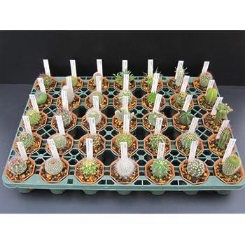 ◇サボテン◇おまかせ12種12鉢セット◇2寸◇
