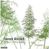 (観葉植物)ハーブ苗 フェンネル スイート 3号(1ポット) 家庭菜園