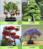 SEED盆栽種子:ガーデンバルコニーコンボagranateナナ、Cryptomaria、Gulmohar、ジャカランダガーデン種子種子(パケットあたり10)のシード