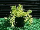 【育てやすい】メキシコマンネングサ多肉植物(セダム)