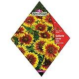 [春・秋まき 花タネ][フランス花の種]ガイラルディア コボルド イエロー&レッドバイカラー 1袋 ノーブランド品