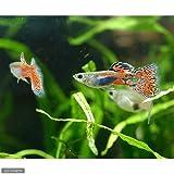 (熱帯魚)レッドグラス・グッピー(国産グッピー)(1ペア) 本州・四国限定[生体]