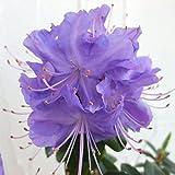 ブルーツツジ:クレーターレイク3.5号ポット[最も青花に近いシャクナゲの仲間] ノーブランド品