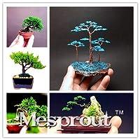 ミックス:50個ミニジュニパー盆栽の木の種鉢植えの花オフィス盆栽浄化空気吸収有害ガスDiyの庭
