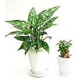 選べる観葉植物 陶器鉢2点セット(【4号】アグラオネマ×【3号】ガジュマル)