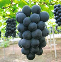 種なし 大粒 ぶどう 岡山 ニュー ピオーネ 1房約800g 大房 葡萄 ブドウ