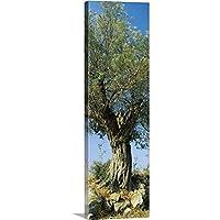 """キャンバス上需要プレミアムthick-wrapキャンバス壁アート印刷オリーブツリーというタイトルのAフィールド、Aegina、Saronic Gulf諸島、アッティカ 12"""" x 36"""" 113530_24_12x36_none"""