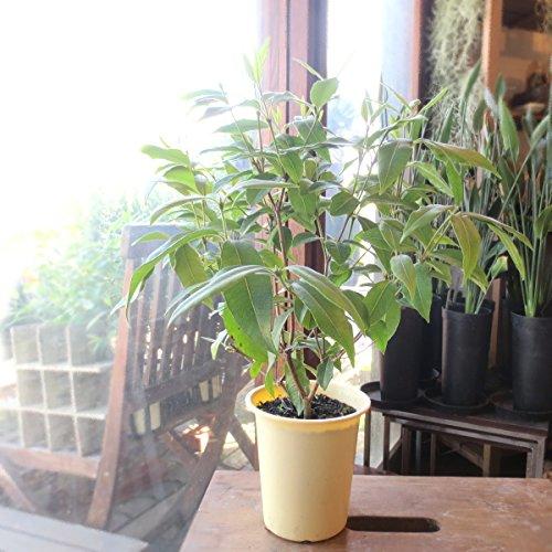 レモンマートルの木 4号鉢サイズ 鉢植え