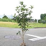 庭木:ギンモクセイ(銀木犀) 樹高:約100cm