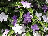 【1年間枯れ保証】【春に花が咲く木】ニオイバンマツリ 1.5m露地