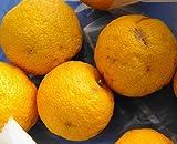 柑橘類 苗木 ゆず 苗 種無し柚子 多田錦 (ただにしき) 2年生 接ぎ木 果樹苗木 果樹苗 カンキツ