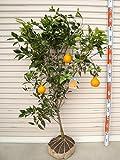 【柑橘大苗】 不知火(デコポン) 4年生 接木苗 【ガーデンストーリーの果樹苗木】