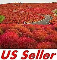 秋にはブッシュG61、見事な赤の庭の色バーニング200個のPCS種子