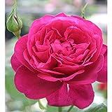 バラ苗 ゲーテローズ 国産新苗4号ポリ鉢 ハイブリッドティー(HT) 四季咲き大輪 赤系