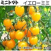 ミニトマト 苗 イエローミミ トマト 9cmポット苗 (実生苗)