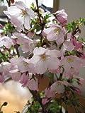 御殿場桜 庭木 桜 サクラ苗販売