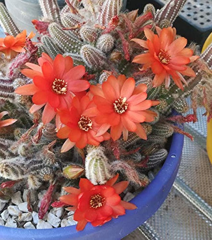 先入観ミスペンドボスSEEDSの可能パッケージだけでなく、植物:ChamaeのsilvestrはStemsOrange花の巨大なかたまりを開発します
