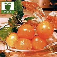 食用ホオズキ:オレンジチェリー3号ポット4株セット(野菜の苗) ノーブランド品
