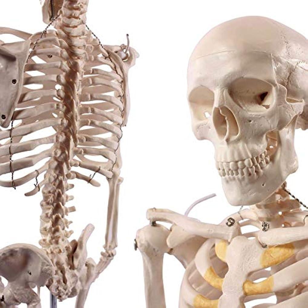 使い込む要求征服人体骨格模型 直立 スタンド 付 高精度 85cm 1/2モデル -1.4516