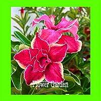 純正!1ピース/ロット砂漠バラ植物盆栽庭の中庭バルコニー鉢植えの花:8