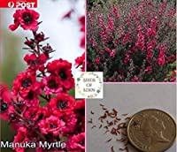 120個のマヌカMYRTLE種子(ギョリュウバイ)。工場
